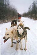 Dog sledding picture